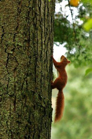 Benmore Botanic Garden : Red Squirrel