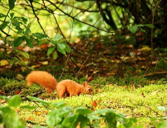 Benmore Botanic Garden : Red Squirrel caching beech nuts