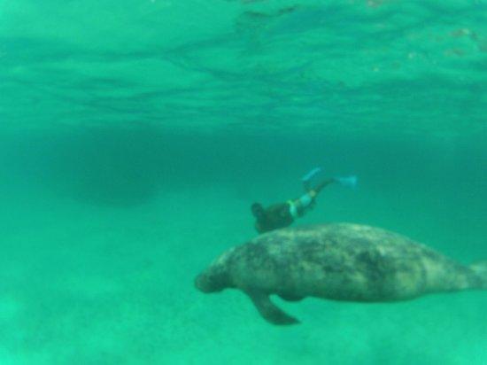 Manatees with Caveman Snorkeling Tours cadleh@yahoo.com