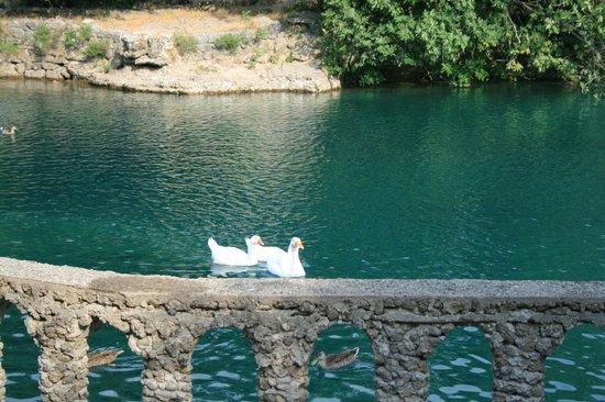 Niagara : лебеди
