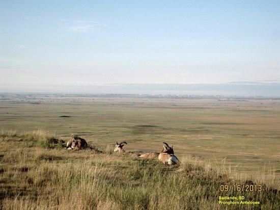 Cedar Pass Lodge : Badlands' Antelope resting