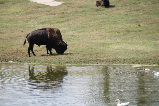 Promised Land ZOO : bison