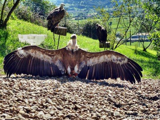 Buitre secando las alas al sol: fotografía de Parque de la Naturaleza de Cabá...