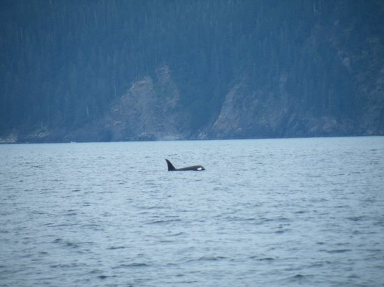 Alaska Saltwater Lodge Small Group Whale Watching, Wildlife & Glacier Tour : Orca