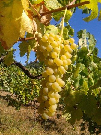 Lindos cachos de uvas da Quinta do Sol