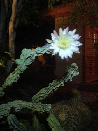 El Mirasol Villas: cactus that only blooms at night