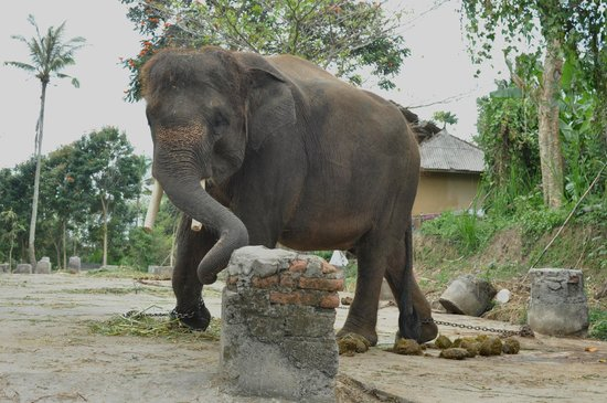 Carangsari, Indonesia: distress elephant chained up in the heat, no water