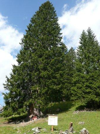 Pfaefers Dorf, Schweiz: Rekordtanne