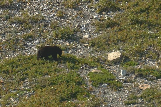 Many Glacier Hotel: Black bear spotted on hillside driving into hotel