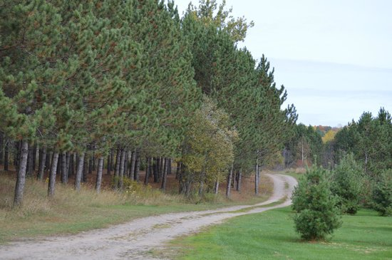 Kiosk Campground: The campsites were in the these pines
