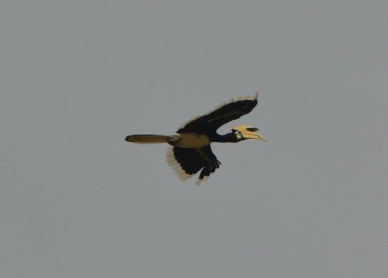 Sukau Rainforest Lodge: hornbill