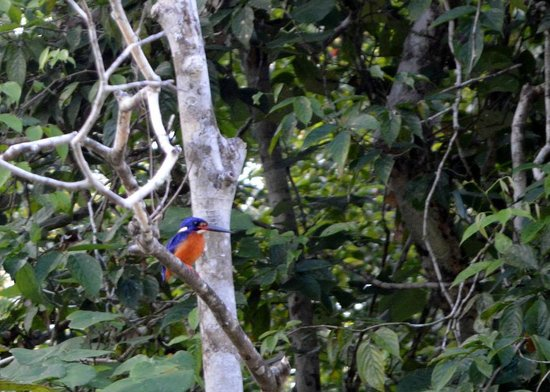 Sukau Rainforest Lodge: kingfisher
