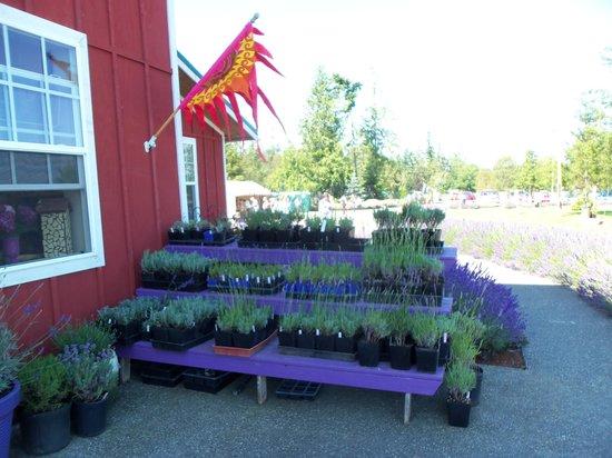 Sunshine Herb and Lavender Farm: Plants for sale