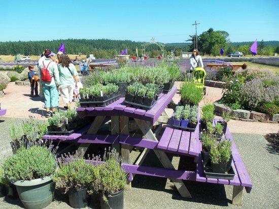 Sunshine Herb and Lavender Farm : More plants for sale