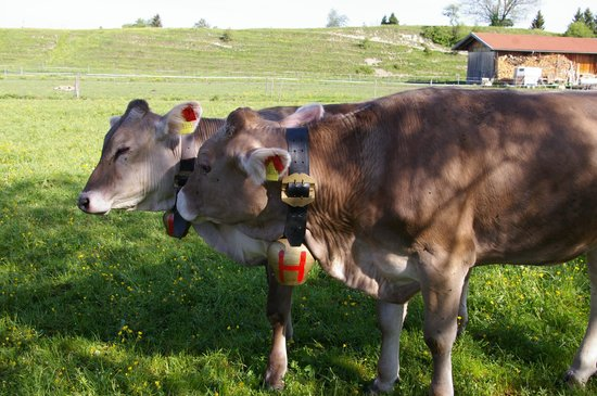 Landhotel Huberhof: Swii cows and bells