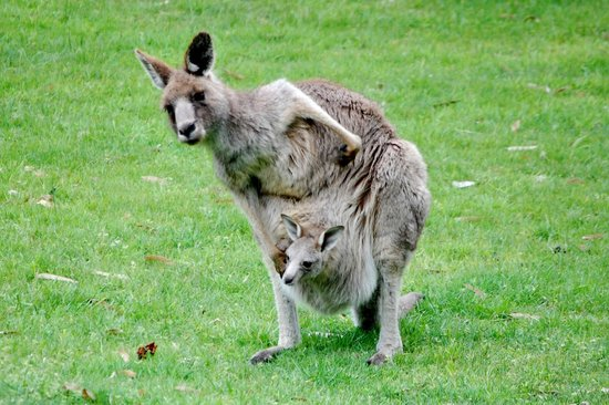 Halls Gap Motel : Kangaroos came to within 10 feet of the picnic table