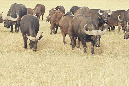 Bartholomeus Klip Farmhouse: Buffalo breeding programme