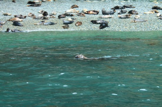 Voyages of Discovery (Ramsey Island): Seal swimming along by our boat