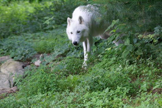 Wolf Conservation Center: Atka