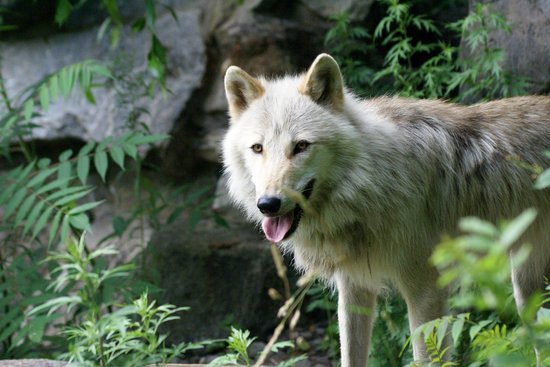Wolf Conservation Center: I didn't need a big lens for this
