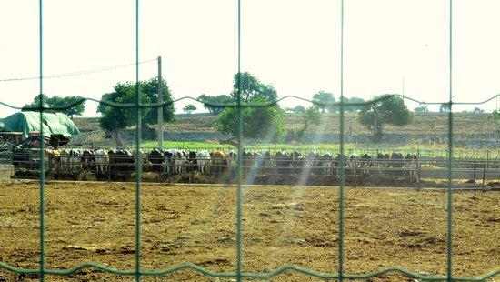 La Masseria - Posto di Blocco 452: Le loro mucche