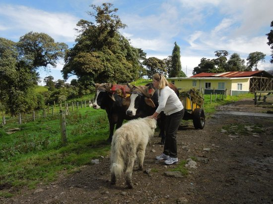 Volcan Turrialba Lodge : working oxen and the friendly farm dog