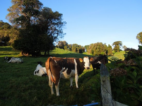 Volcan Turrialba Lodge : curious cattle of various breeds around the farm