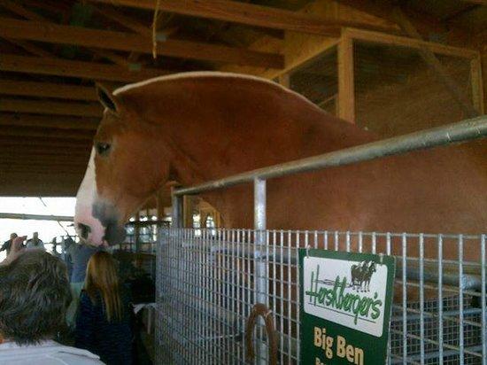Millersburg, Ohio: Big Ben, 3006 lbs. Belgian Draft Horse