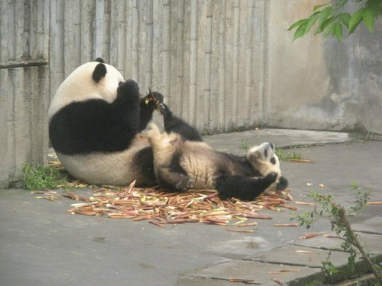 China Conservation and Research Center for the Giant Panda : Tickle me please!