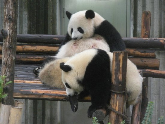 China Conservation and Research Center for the Giant Panda : Panda sandwich