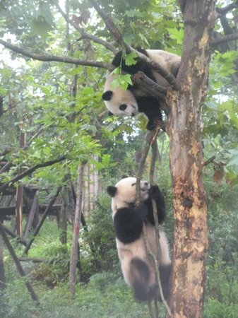 China Conservation and Research Center for the Giant Panda : Ok, I'm going to get you!