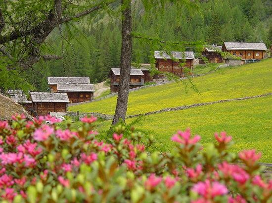 Almhutte Selmer, Oberstalleralm: Almrosenblüte im Juni