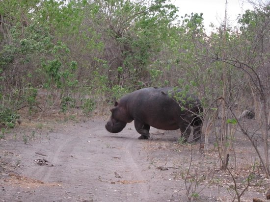 Wilderness Safaris Savuti Camp: Hippo crossing to water in early AM