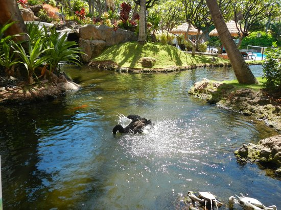 The Westin Maui Resort & Spa: black swan in the lobby's pond area