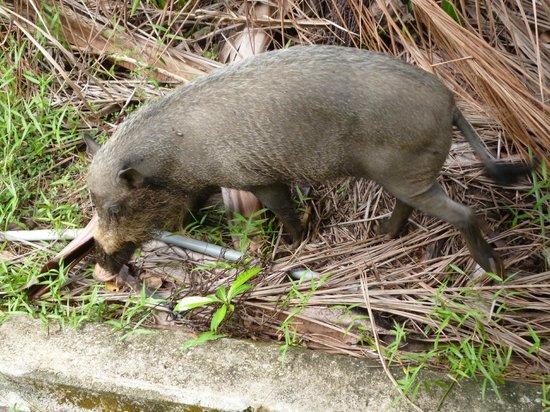 Bako National Park Hostel : Bearded pig