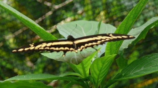 Spirogyra Butterfly Garden : papillon
