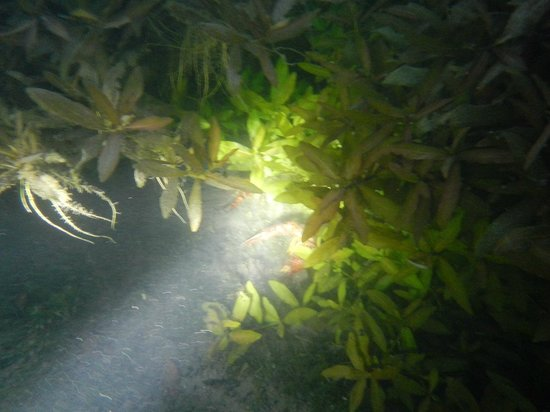 Comal River: Night diving with the crayfish!