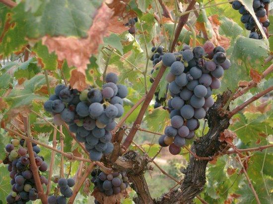 Ambelikos AgroHotel: ripe grapes