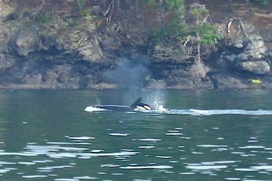 San Juan Safaris: Transient Orca and calf