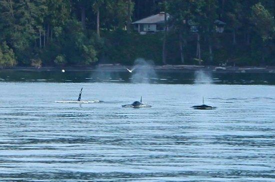 San Juan Safaris: Transient Orcas