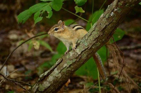 Rachel Carson National Wildlife Refuge: chipmunk