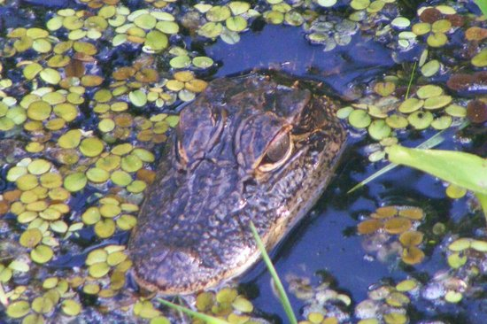 Alligator's Unlimited  Airboat Nature Tours: 5