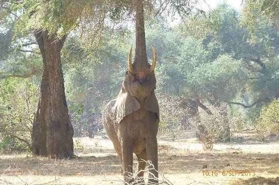 Old Mondoro Bush Camp : elefant eating leafs from the tree