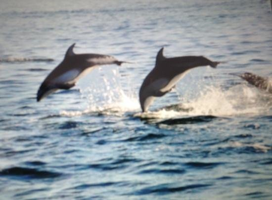 Discovery Marine Safaris Ltd.: Pacific White-sided Dolphins