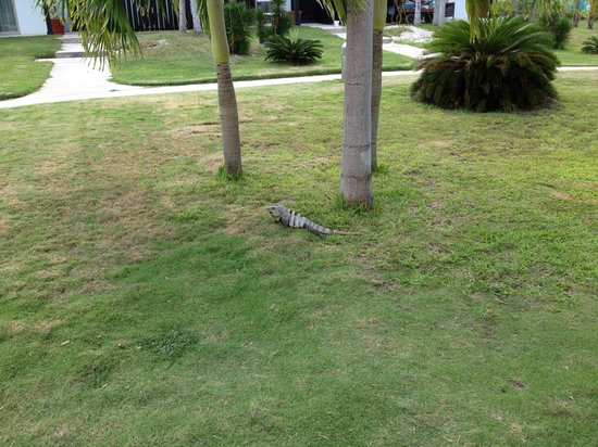 Las Terrazas Resort: One of the resident iguanas outside our door