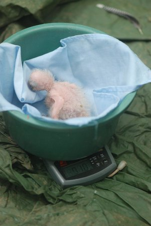 Tambopata Research Center: Research - a few day old macaw chick