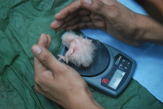 Tambopata Research Center: Research - measuring a macaw chick