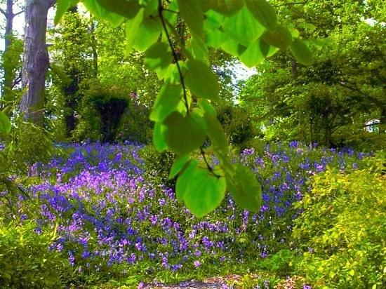 Spring Bluebells at Hesketh Park