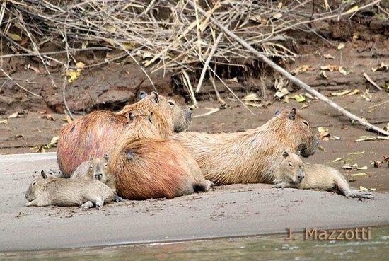 Refugio Amazonas : Capybaras (copyright by Jorge Mazzoti)