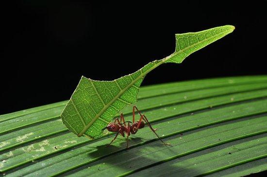Refugio Amazonas : Leaf cutting ant (copyright by Thomas Marent)